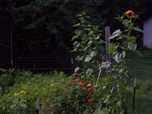 early sept sunflowers