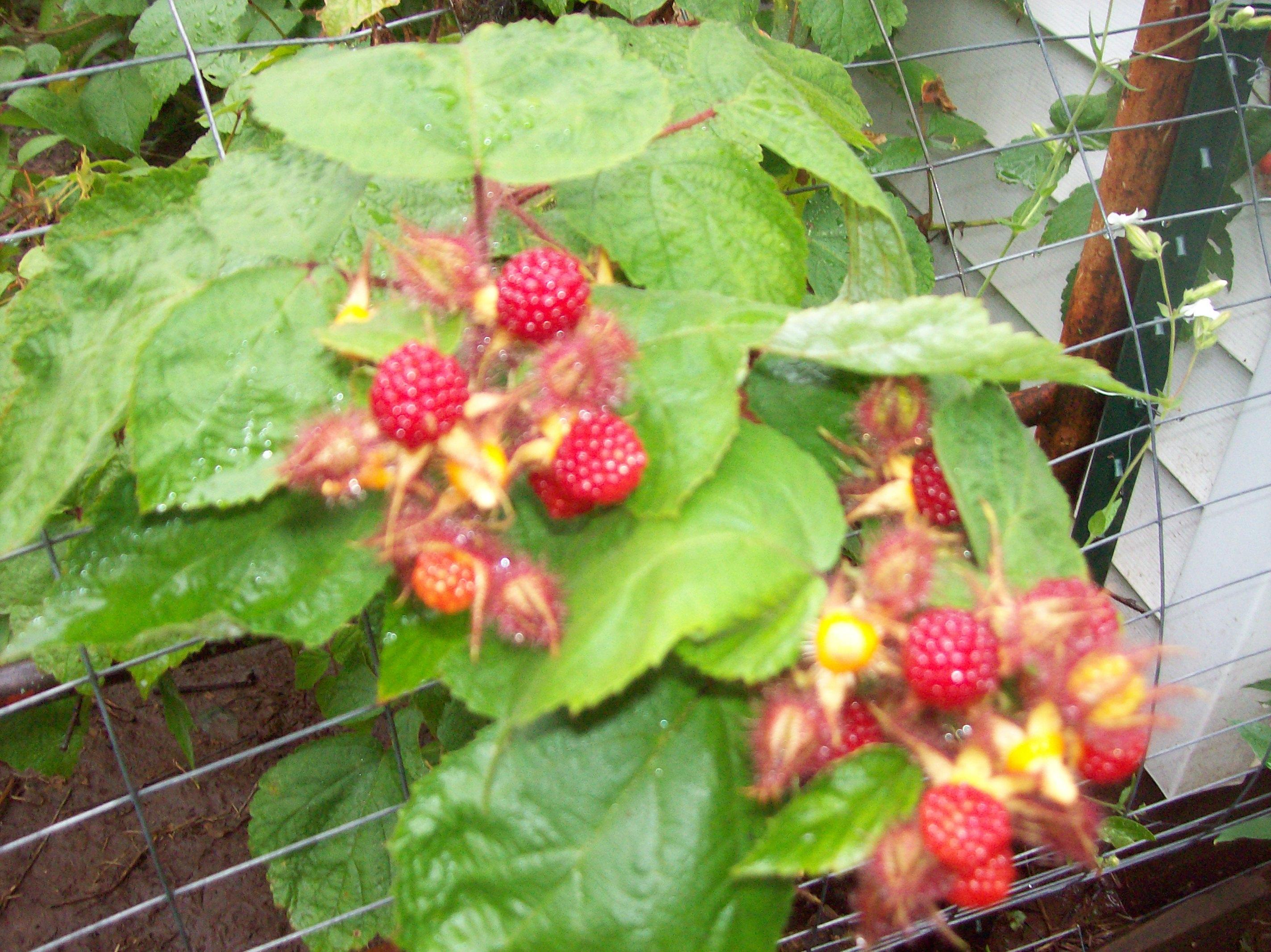 fuzzy raspberries