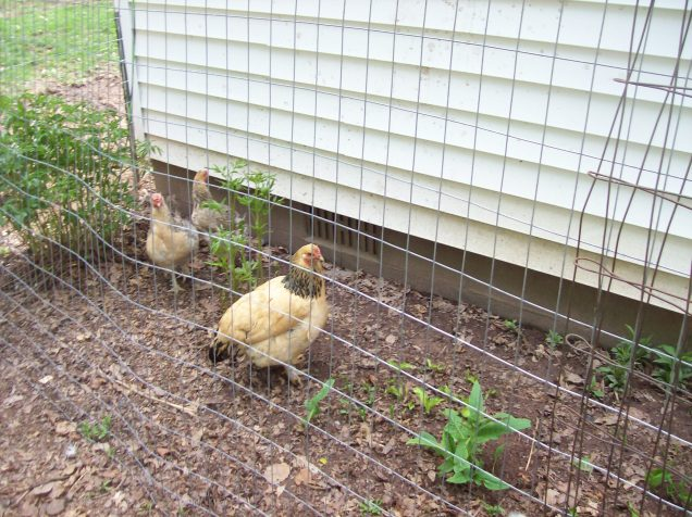 chickens sneaking in