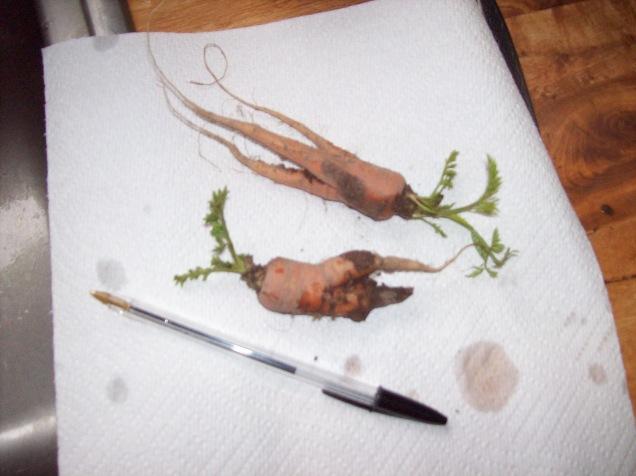 last year carrots