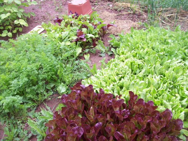 lettuce carrots beets