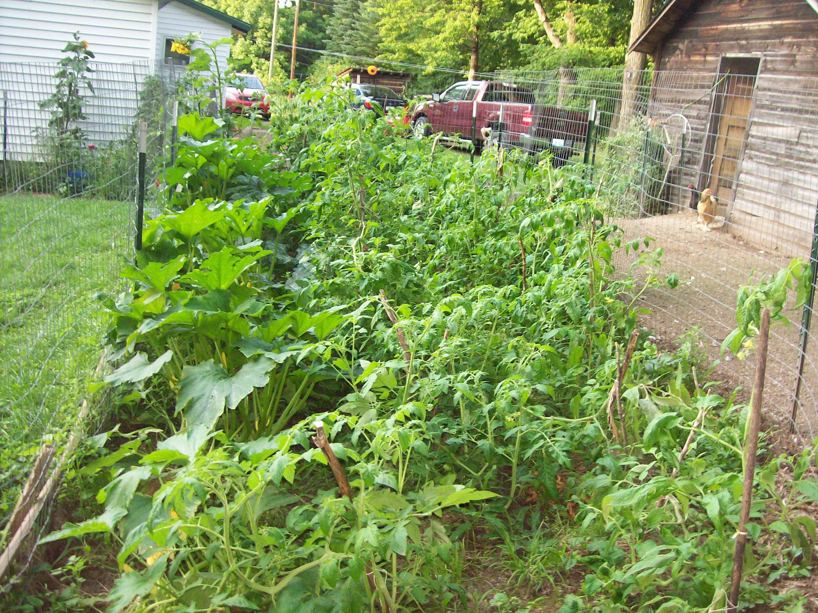 squash and tomato garden