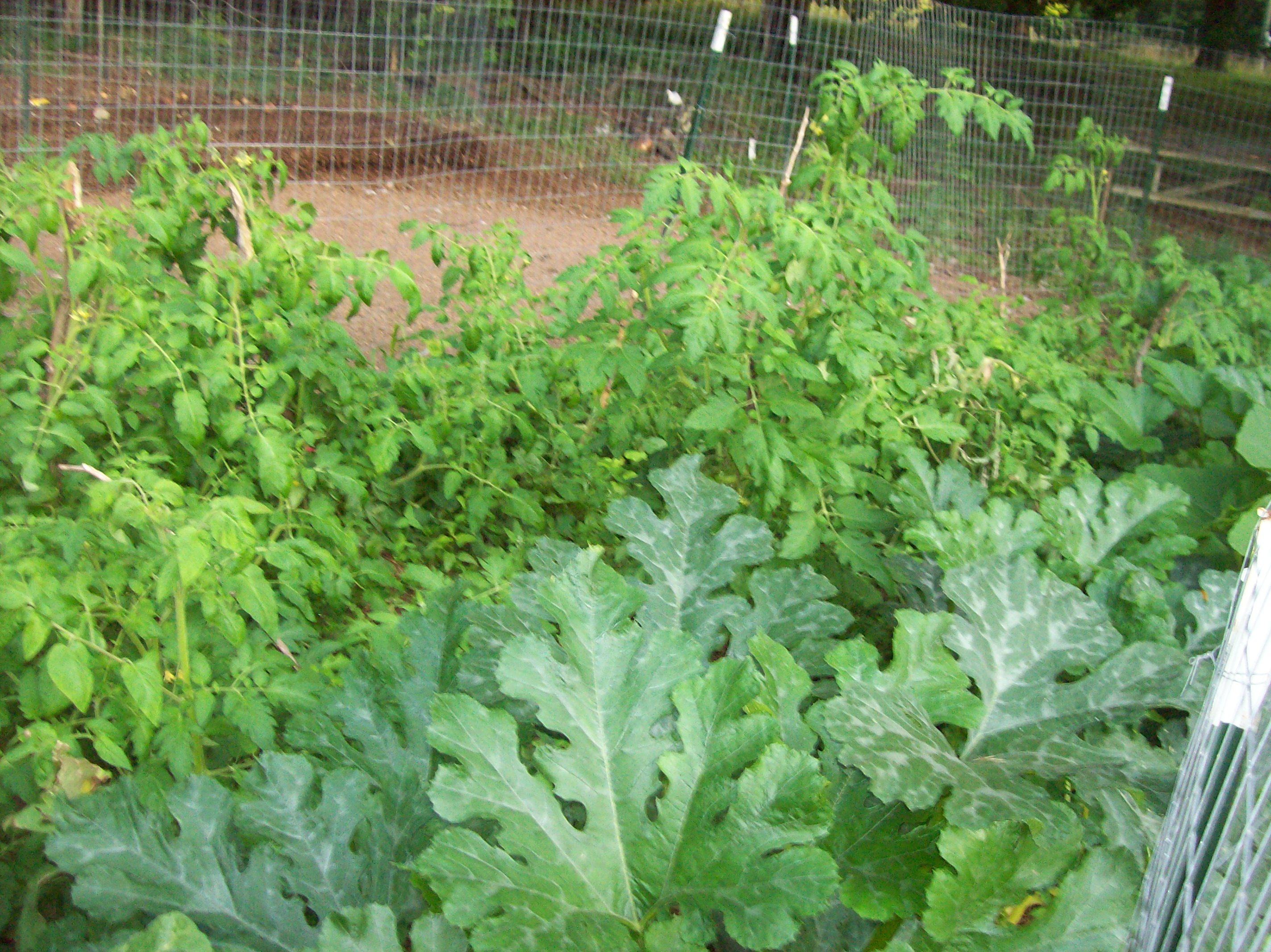 tomato and squash jungle