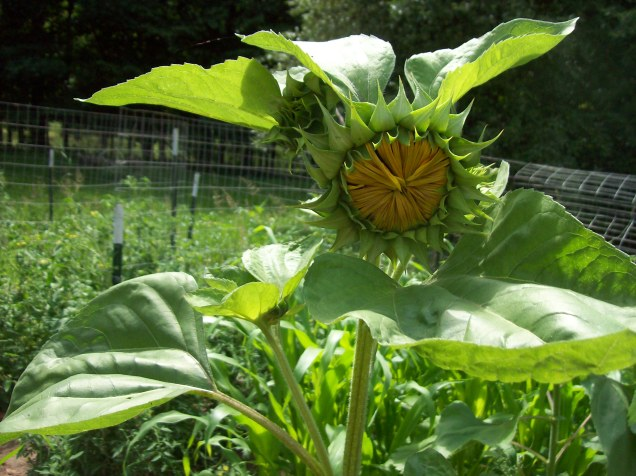 sunflower prebloom