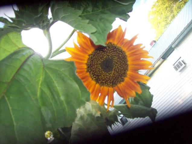 tall sunflower 2